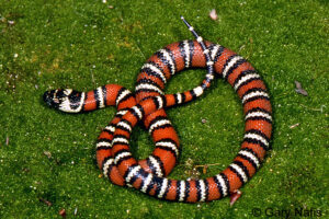 California scarlet king snake