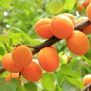 aricots on tree branch