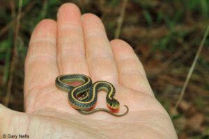baby garter snake