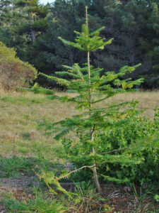 Young fir tree